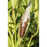Common Milkweed (Asclepias Syriaca) – Four Plants – Non-GMO