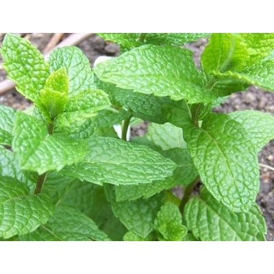 Mojito Mint – Two Plants