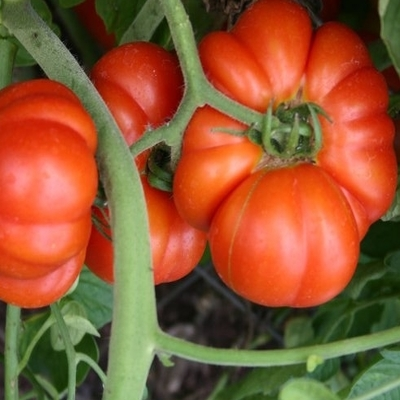 Mortgage Lifter Tomato Two Plants -- non-GMO, Huge Beefsteak