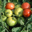 Mountain Fresh Tomato Two Plants -- Non-GMO