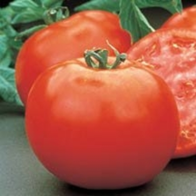Mountain Pride Tomato | Two Live Garden Plants | Non-GMO, Determinate, Disease Resistant, Great Canner