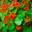 Nasturtium | Two Live Garden Plants | Non-GMO, Deliciously Edible!