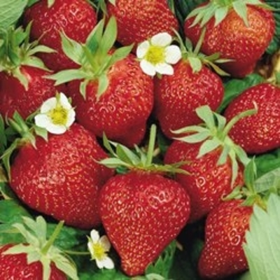 Ozark Beauty Everbearing Strawberry – Two Plants