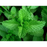 Spearmint Mint Herb - Two Plants - Non GMO