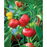 Pimiento Pepper Plant - Two Live Plants