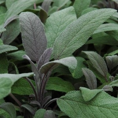 Purple Sage Herb Plants - Two Plants - Non GMO