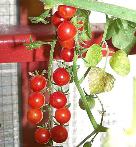 Red Currant Tomato Two Plants  – Non-GMO, Indeterminate, Great Yields