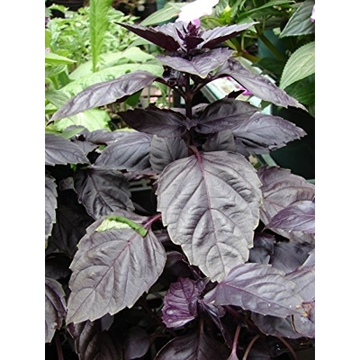 Red Rubin Basil Herb Plant -- Two Plants