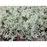 Silver Edge Thyme - Two Plants, Non-GMO