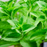 Stevia Plant | Two Live Garden Plants | Non-GMO, Use Leaves Fresh or Dried