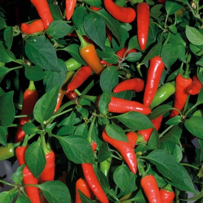Super Chili Pepper Two Plants -- Non-GMO, 40K SHU