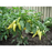 Sweet Banana Pepper  | Two Live Garden Plants | Non-GMO, Sweet, Tangy & Flavorful
