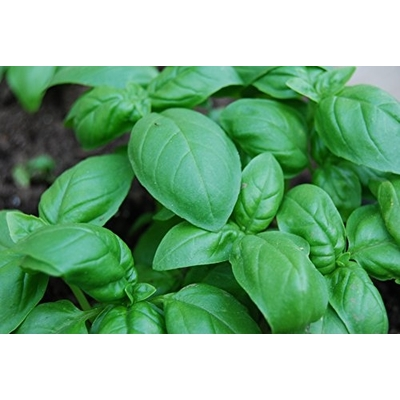 Sweet Basil - Two Plants - Non GMO