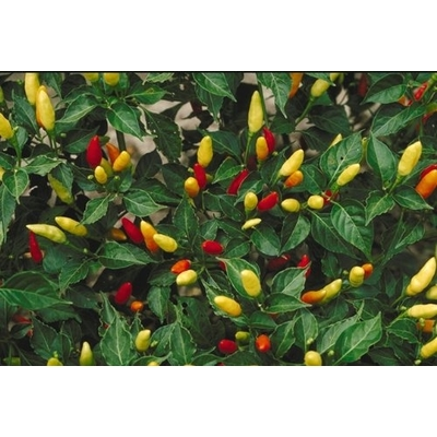 Tabasco Pepper Two Plants -- Non-GMO, Hot