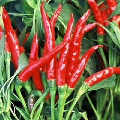 Thai Gong Bao Hot Pepper Plants | Two Live Plants | High Yield, Edible Ornamental