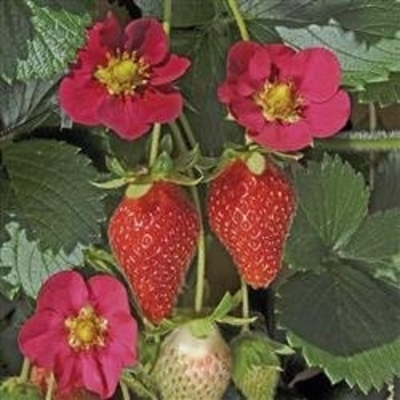Toscana Strawberry - Two Plants - Pink Blossoms!