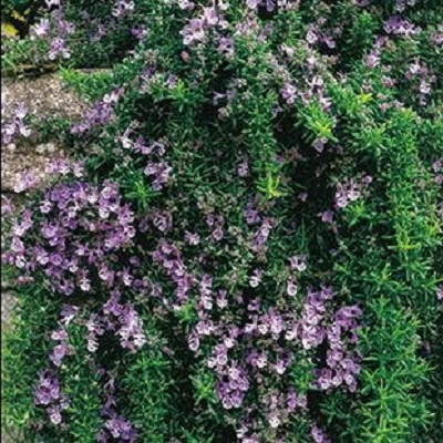 Trailing Rosemary | Two Live Herb Plants | Non-GMO, Cascading Growth, Versatile Uses