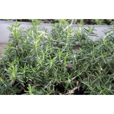 Trailing Rosemary - Two Plants – Non-GMO