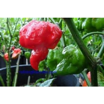 One of the World's HOTTEST Peppers!! Trinidad Moruga Scorpion Pepper Plant -- THREE LARGE PLANTS - Free Priority Mail Shipping!!
