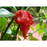 Trinidad Moruga Scorpion Pepper Plant. One of the World's HOTTEST Peppers!!