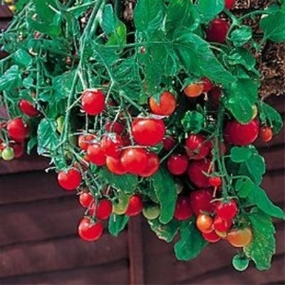 Tumbling Tom Red Tomato Two Plants – Non-GMO, Cherry