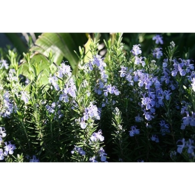 Tuscan Blue Rosemary Herb Two Plants Clovers Garden