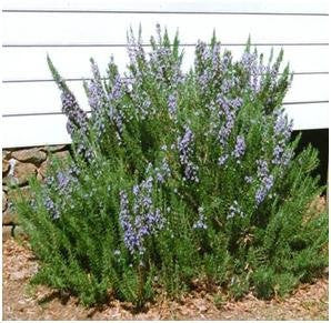 Upright Rosemary | Two Live Herb Plants | Non-GMO, Ornamental & Edible