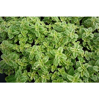Variegated Lemon Balm - Two Plants - Non GMO