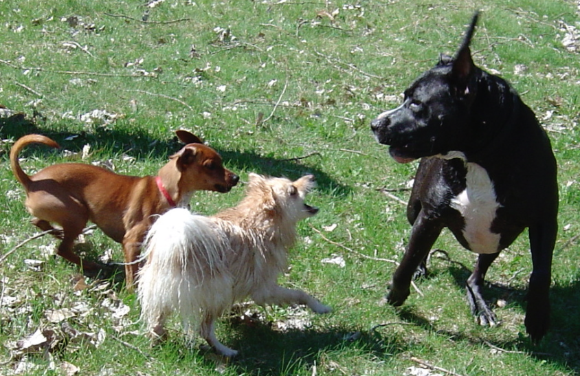 What To Do When A Loose, Untrained Dog Approaches Your Dog.