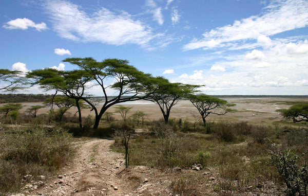 beautiful acacias trees