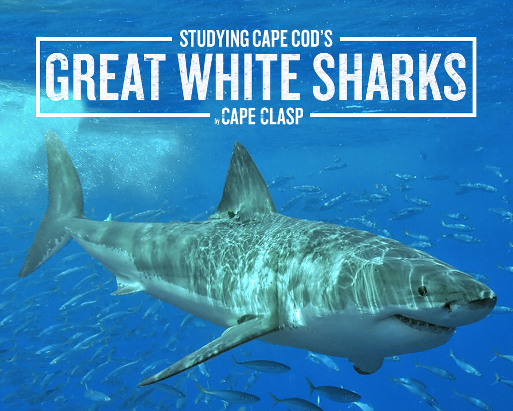 Studying Cape Cod's Great White Sharks