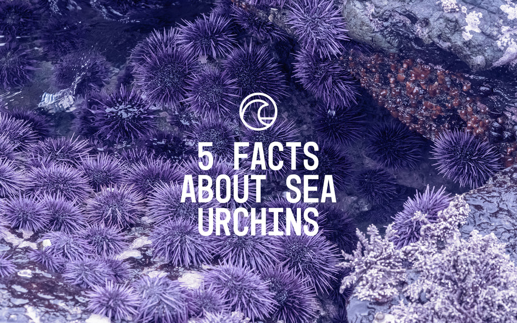 5 Facts About Sea Urchins