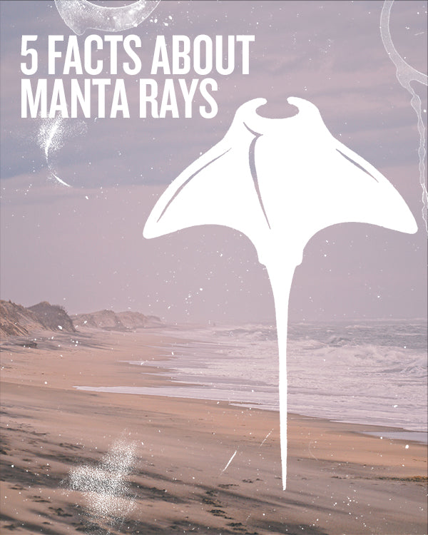 5 FACTS ABOUT MANTA RAYS