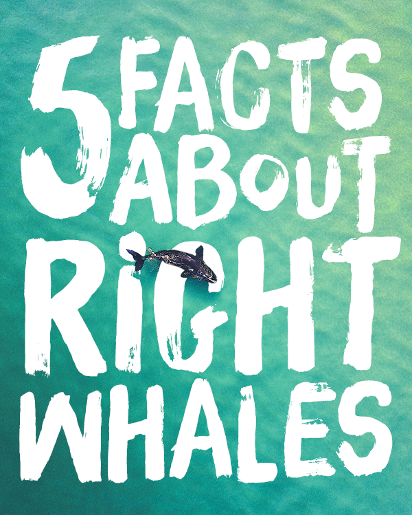 5 FACTS ABOUT RIGHT WHALES