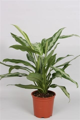 Aglaonema 'Black lance'