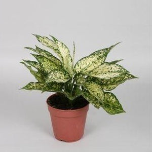 Aglaonema costatum 'First Diamond'