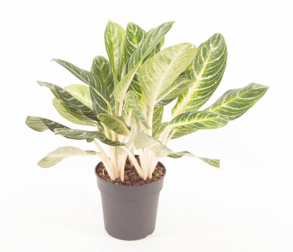 Aglaonema 'Key Lime'