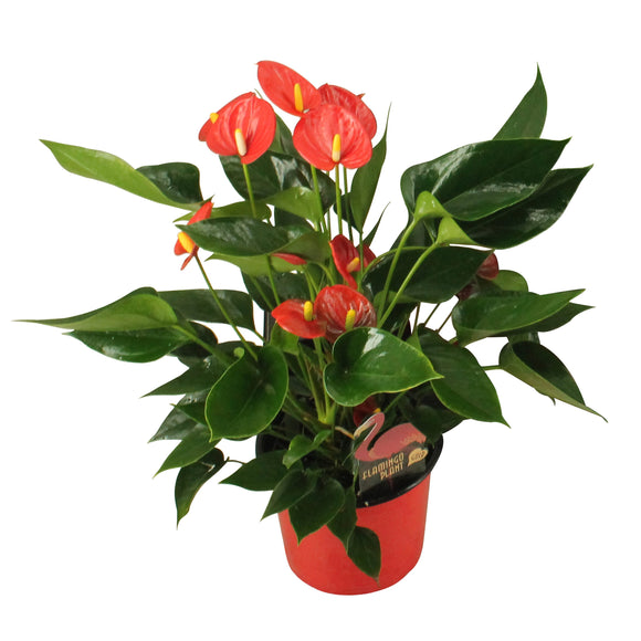 Teleplants Anthurium Plants