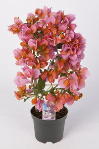 Bougainvillea sanderiana 'Afterglow'