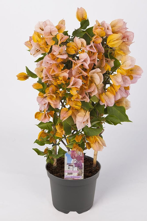 Bougainvillea sanderiana 'Orange'
