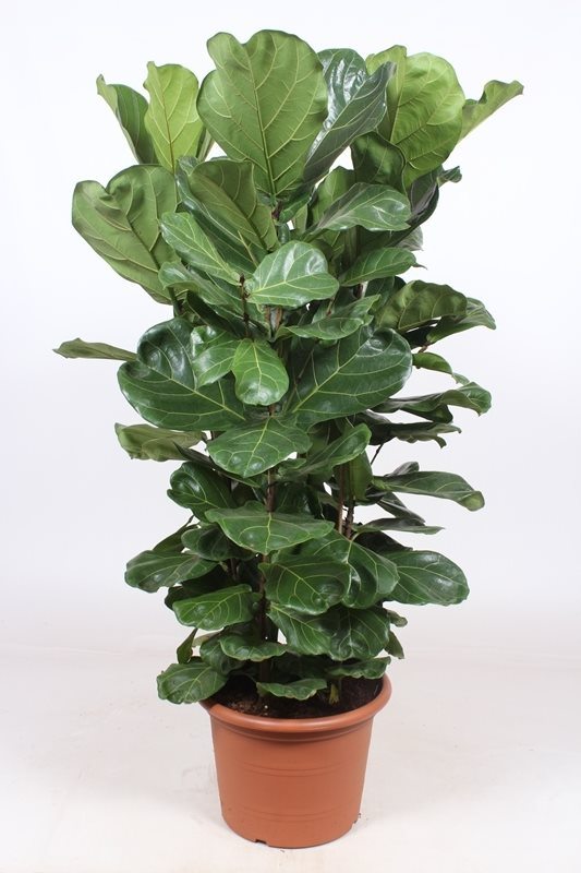 Fiddle Leaf Fig - Ficus lyrata
