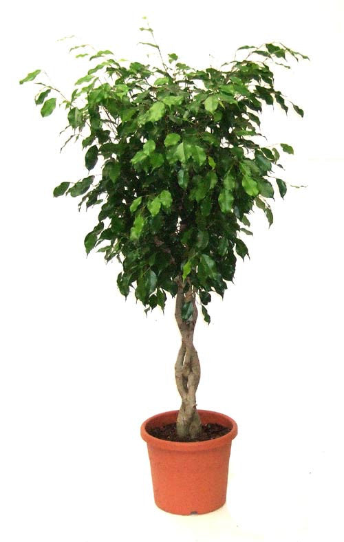 Ficus benjamina (Braided Stems)