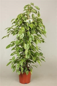 "Ficus benjamina ""Golden King"""