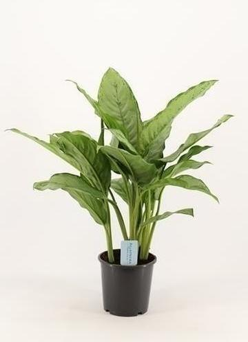 Aglaonema 'B.J. Freedman'