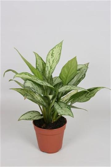Aglaonema 'Silver Queen
