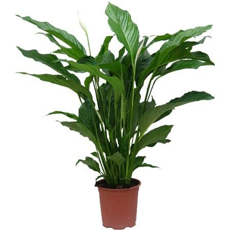 Spathiphyllum - Peace Lilly