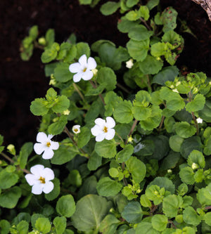 What are bacopa side effects?