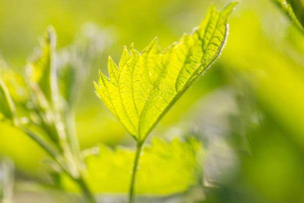 What Are Stinging Nettle Side Effects?