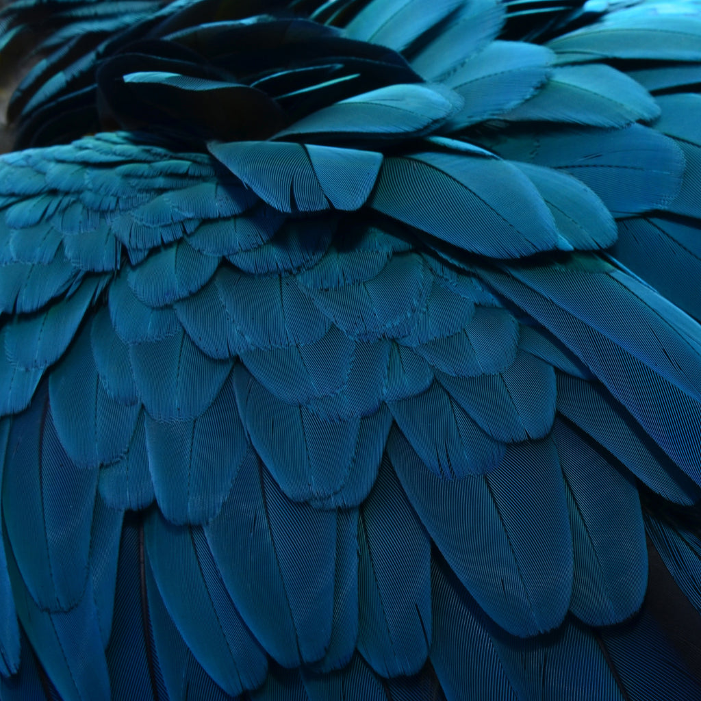 Blue Feather 2, variant - Aise - 2