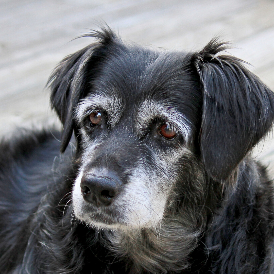 Supplements for Senior Dogs